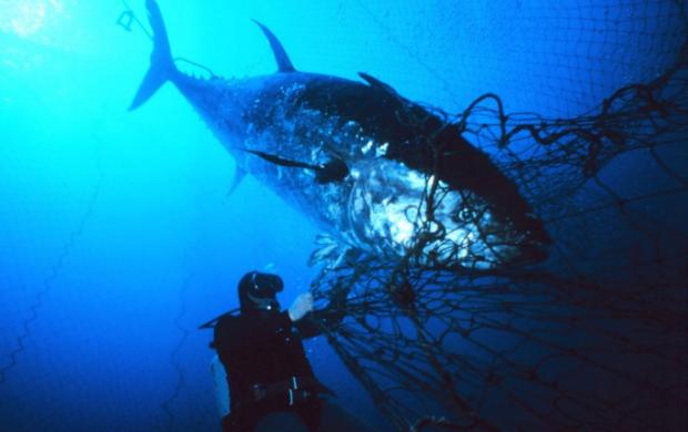 蓝鳍金枪鱼会成为下一个鱼翅吗?