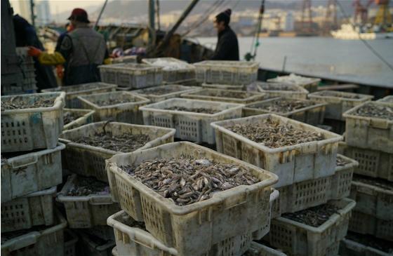 饲料鱼:中国水产养殖业背后的故事
