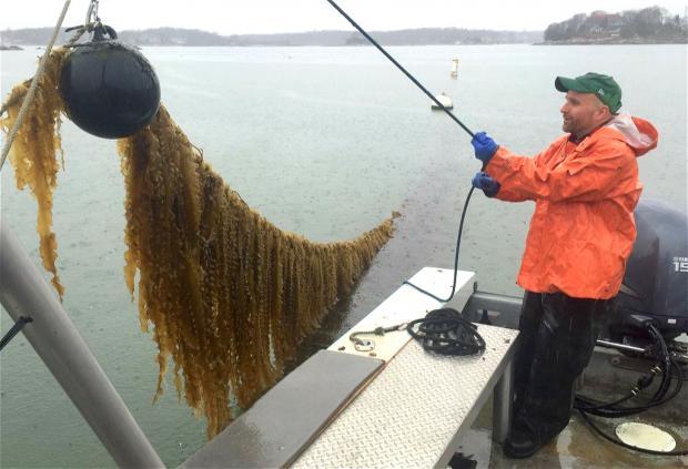 立体海藻农场:生蚝天堂+天然碳汇?