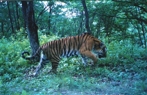 国家公园成立:改变野生东北虎豹命运的大事件