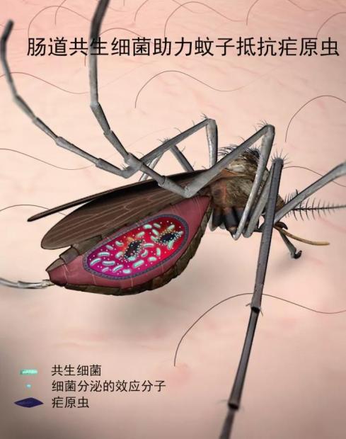 杀死疟原虫的新方法:居然是细菌!