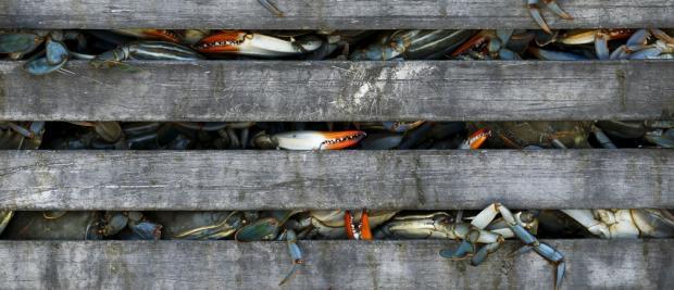 螃蟹好吃,但你知道它还能解决塑料污染吗?