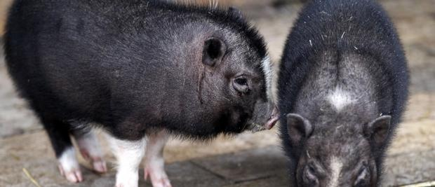 中国科学家培育出了不会胖的猪
