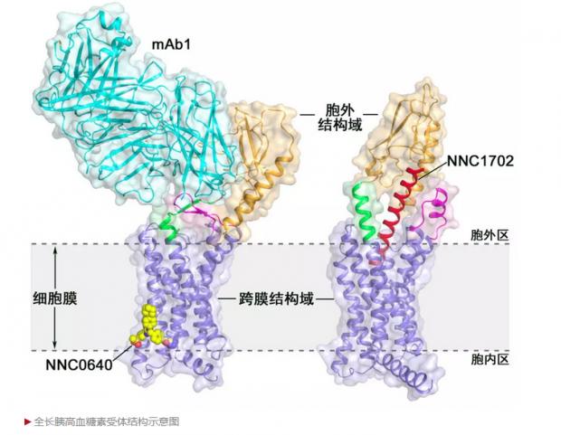 上海学者发表结构生物学重要成果,或加快2型糖尿病新药研发