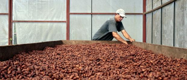 """巧克力爱好者""""危险""""了,可可树或在40年后灭绝"""