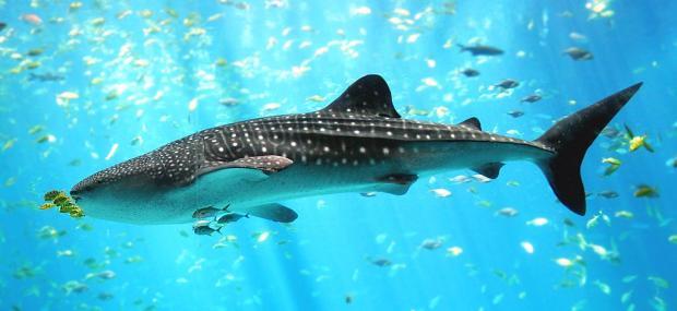 幻灯片 | 全球十大亟需保护的海洋生物