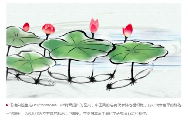 难于上青天:中国科学家揭开肺泡发育之谜