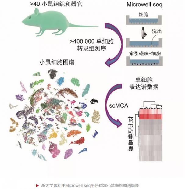 首个哺乳动物细胞图谱在浙大诞生
