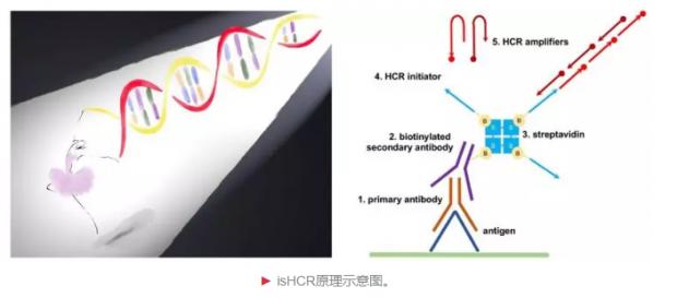 罗敏敏实验室建立新型免疫信号放大方法