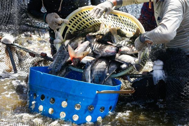 本土化的罗非鱼可持续养殖路在何方?