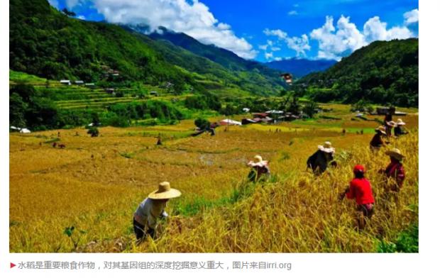 两个汉字登上Nature背后:最新研究支持亚洲栽培水稻起源新观点