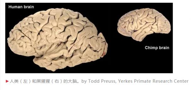 人脑之所以大是因为社交?