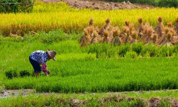 气候变化降低大米营养价值