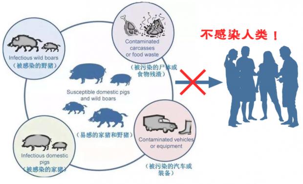 别把非洲猪瘟与猪链球菌病混为一谈