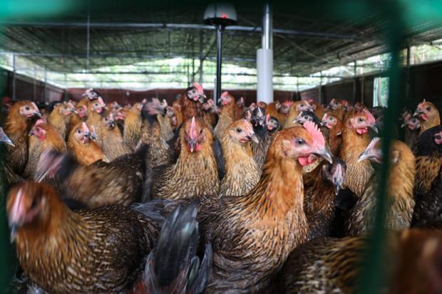 区块链养鸡会引领一场食品革命吗?