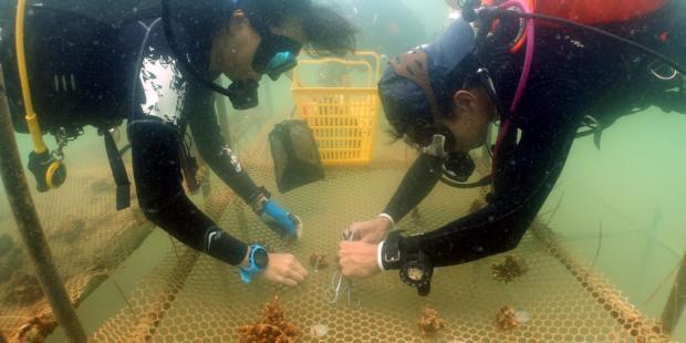 在珠三角,潜水救珊瑚