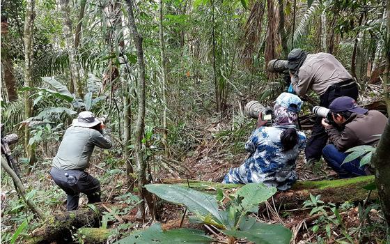 中国游客探寻哥伦比亚稀有动物动冠伞鸟