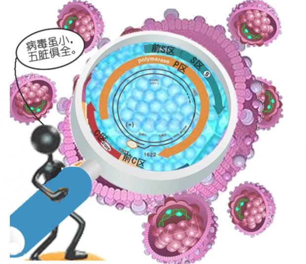 乙肝抗体对乙肝病毒变异还有效吗?