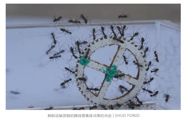 蚂蚁如何作出集体决策?
