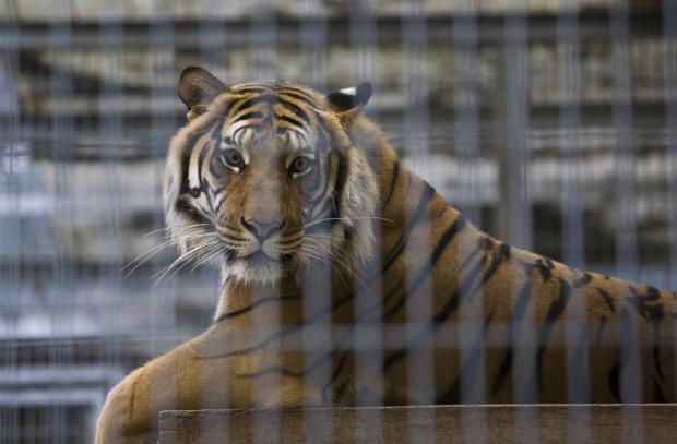 虎骨决定影响中国的动物保育形象