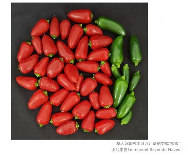 """番茄如何变成""""辣椒""""?基因编辑技术正在变革农作物"""