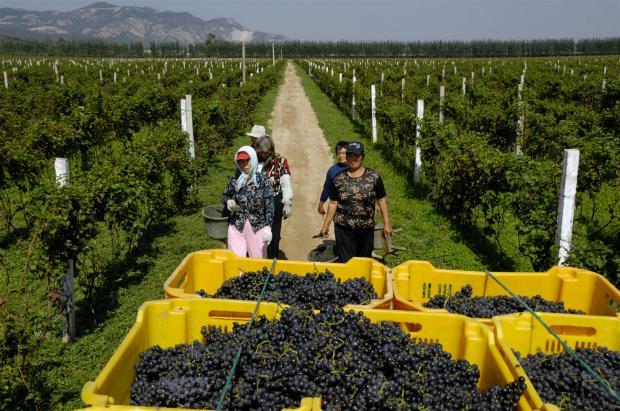 气候变化或让中国东北盛产葡萄酒?