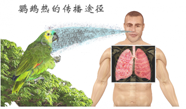 买鹦鹉得了鹦鹉热 警惕人类感染鸟疫