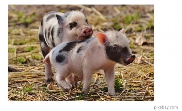新年与猪同行:家猪的文化