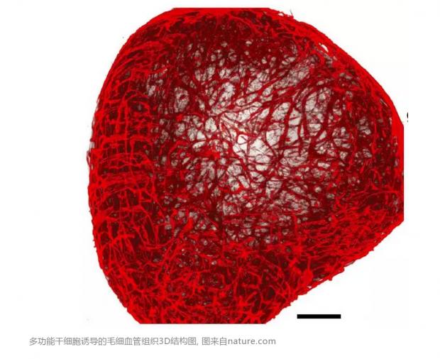 为了筛药精准,科学家设计出体外3D人体血管网络