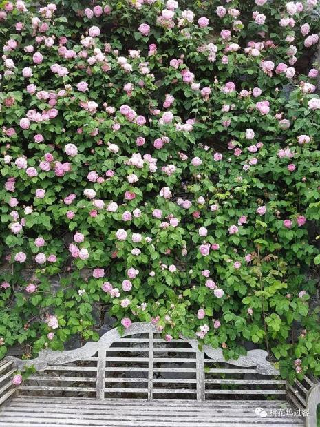 这满墙的玫瑰
