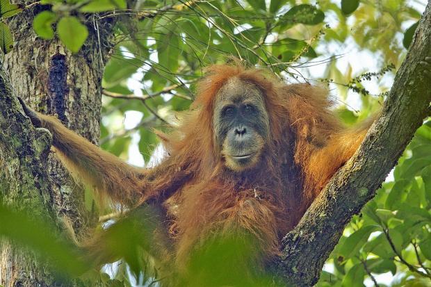 印尼达巴奴里猩猩前途未卜