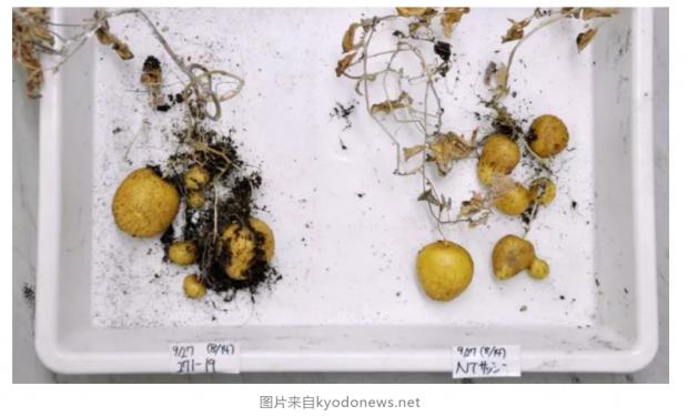日本专家认为基因编辑食品安全,但消费者不买账
