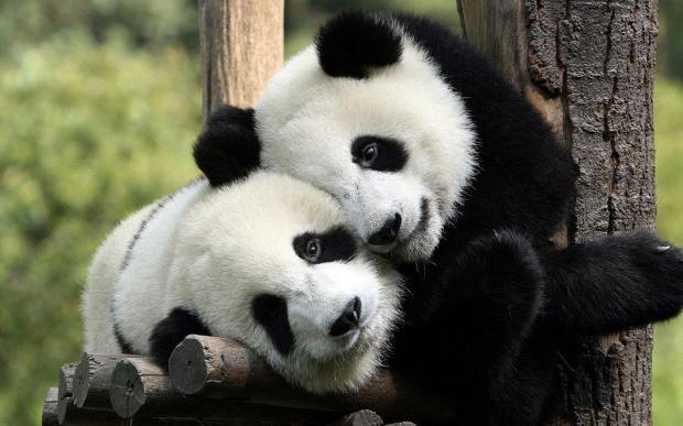 熊猫:中国现代国宝的构建与保护
