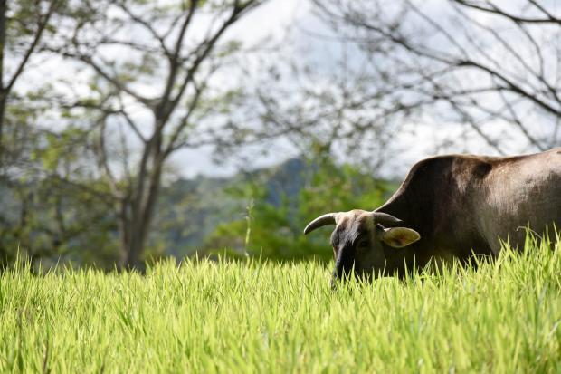 森林奶牛真的更环保吗?