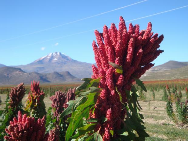 中国——玻利维亚藜麦的希望之地