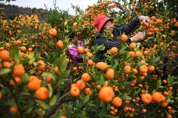 中国采取措施保护作物多样性