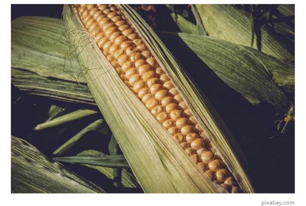 中国玉米保卫战:蛾口夺粮
