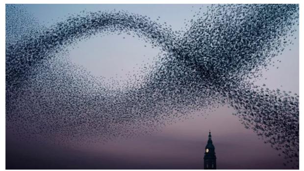 张江:乌合之众还是群智涌现?鸟群知道答案