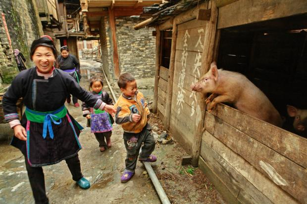 猪的演变:由农耕文化的一部分到现代产肉机器
