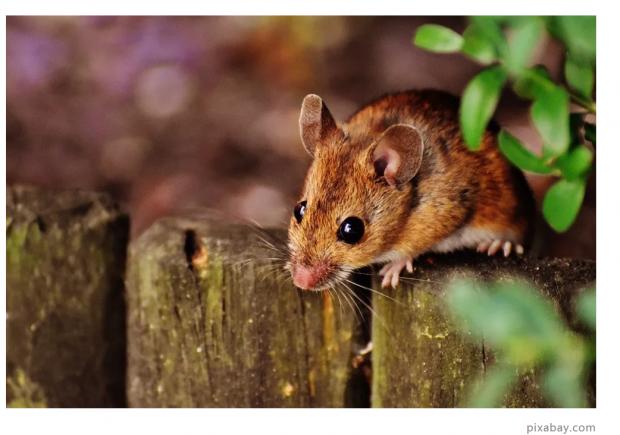 人脑和鼠脑究竟有何区别?