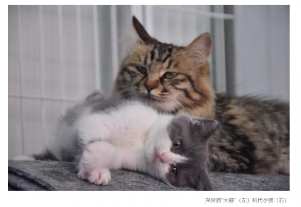 技术、伦理与商业:克隆猫们有未来吗?