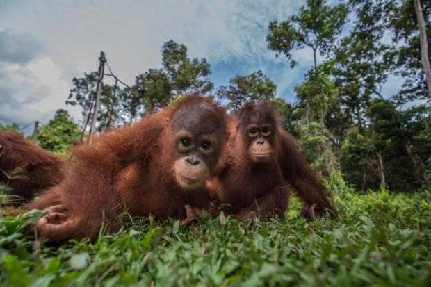 印尼油棕种植园侵占猩猩保护区