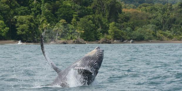 哥伦比亚港口将影响座头鲸育种场