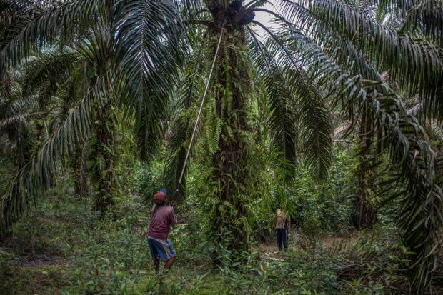 中国市场能转向可持续棕榈油吗?