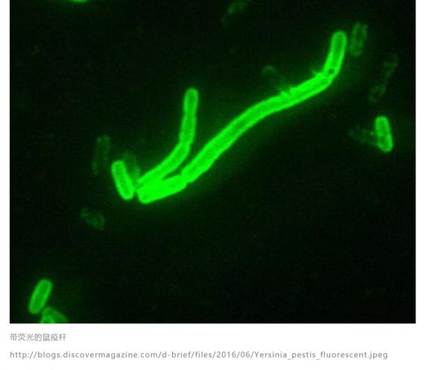 基因分析追踪:鼠疫杆菌从哪里来?