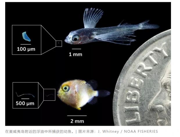 当海洋中塑料与幼鱼数量之比为 7:1