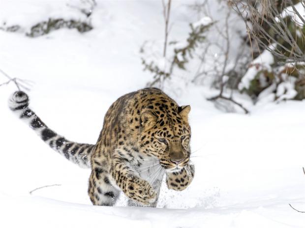 中俄合作拯救大型猫科动物