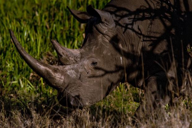 仿制犀牛角无法遏制偷猎