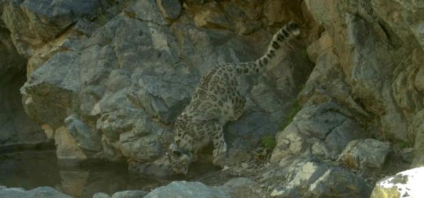陪伴一只雪豹十年成长,是什么感受?