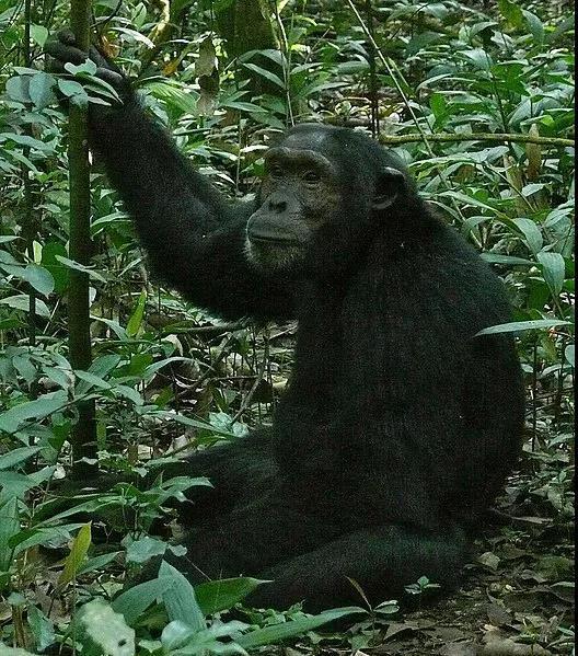 """黑猩猩不仅有文化,还有自己的 """"文化圈儿"""""""